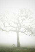 A tire swing on an Oak tree in winter fog.
