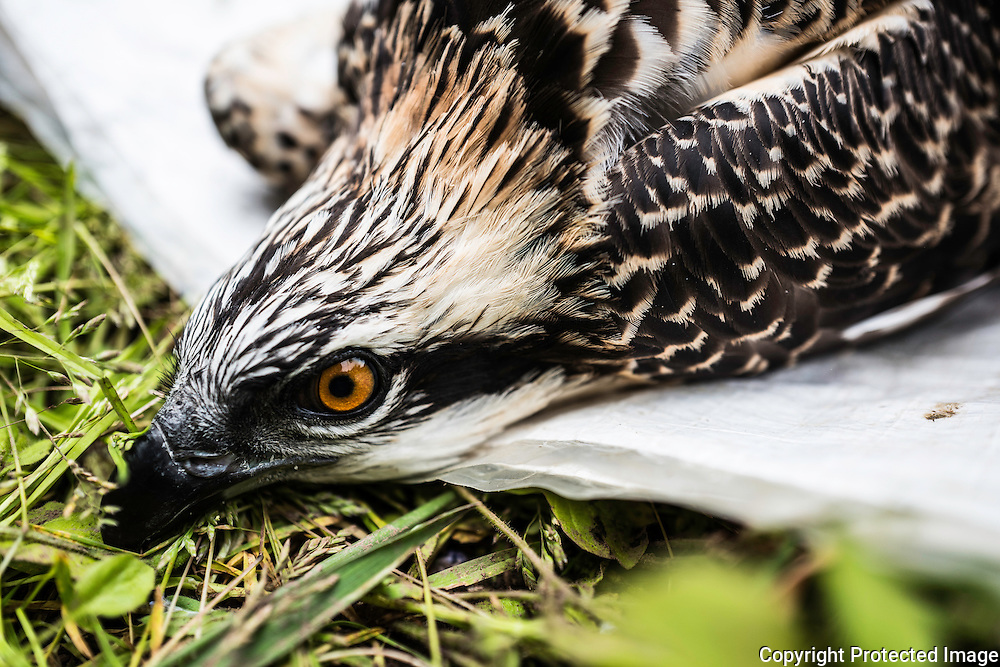 Jedburgh, Scottish Borders, UK. 10th July 2016. A six week old Osprey chick is ringed by a licensed ornithologist in order to monitor population levels and behaviour patterns. The younger birds will migrate to Africa in due course and return at around 3 years of age after building up their strength on the marshlands.