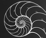 X-ray of a Chambered Nautilus (Nautilus pompilius) shell.