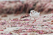 Piping Plover in the wrack line