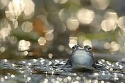 Moor Frog (Rana arvalis), male | Moorfrosch (Rana arvalis), maennlich zur Laichzeit