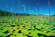 Yellow pond-lily, variegated pond-lily or bullhead pond-lily (Nuphar variegata)<br />Whitefish<br />Ontario<br />Canada
