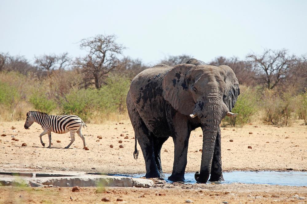 Africa, Namibia, Etosha. Elephant and zebra at a water hole in Etosha National Park.