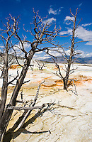 Dead trees on the travertine terraces of Mammoth Hot Springs, Yellowstone National Park, Wyoming, USA.