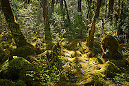 Sunlight filters through ancient beech groves onto the moss-covered wetland forest floor, Milford Track, Fiordland, New Zealand. The mosses cover everything, creating soft, half-recognisable sculptures out of rocks and tree stumps