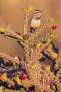 Cactus Wren, Campylorhynchus brunneicapillus, male, Pima County, Arizona