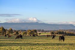 Cattle grazing with snow on Ben Lomond, in northern Tasmania.