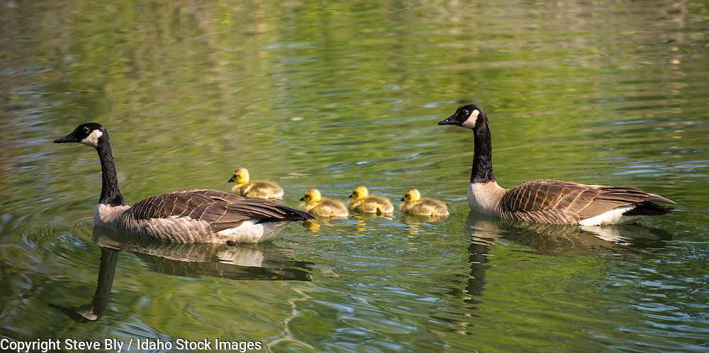 Adult Canada geese swimming with their newborn chick goslings in Idaho Lake