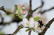 A bumble feeds on nectar on a flowering apple tree at the Bull River Guard Station, one of the original ranger stations in the Kootenai National Forest. Bull River Valley, northwest Montana.