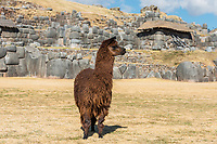 Alpaca at Sacsayhuaman, Incas ruins in the peruvian Andes at Cuzco Peru