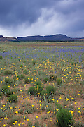 Storm clouds over field of wildflowers, Grand Staircase-Escalante National Monument, Utah