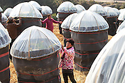 WENZHOU, CHINA - DECEMBER 16: (CHINA OUT)<br /> <br /> Pitaya Trees Get Covered With Blankets <br /> <br /> Pitaya trees get covered with blankets in winter at Cangnan County on December 16, 2014 in Wenzhou, Zhejiang province of China. Pitaya trees in south China's Zhejiang province were covered with blanket to prevent the cold weather in winter.<br /> ©Exclusivepix Media