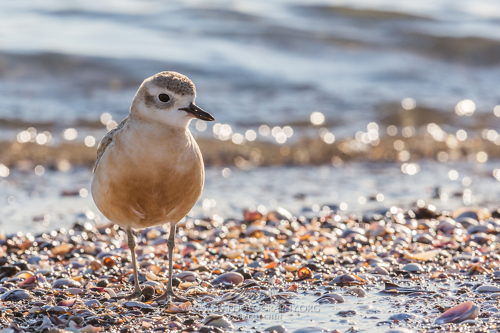 Two different subspecies of the New Zealand Dotterel exist.  In this image is a Northern NZ Dotterel.  The Southern NZ Dotterel only has a population of about 250 birds, surviving on Stewart Island and nesting on mountain tops.