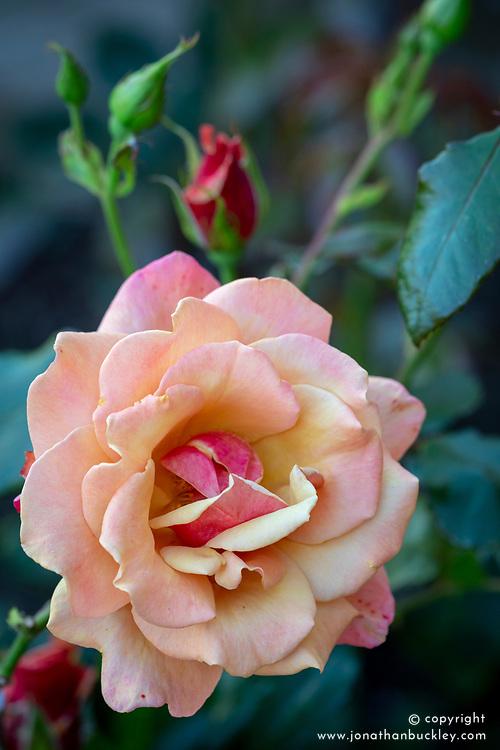 Rosa 'La Belle Epoque'