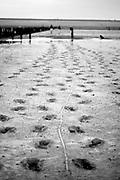 Returning to the Frisian dike after walking the mudflats of the Waddenzee to the little island of Engelsmanplaat // Terugkomst bij de zeedijk tussen Nes en Wierum na een wadlooptocht naar Engelsmanplaat.