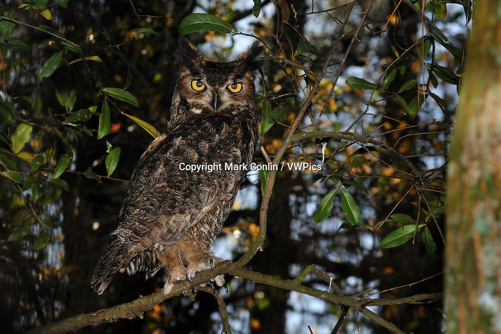 Great horned owl, Bubo virginianus, Florida, captive