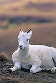 Wildlife: Dall Sheep, Ewes