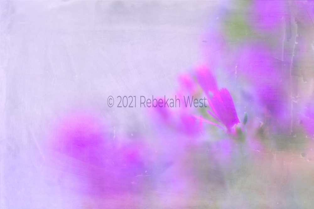Diagonal purple soldier petaled flowers in horizontal field, red violet range with grey, soft pinks and soft greens, background roughly divided diagonally from down left to up right, upper left side is a soft pale grey in the lavender range, bottom right are more super soft focus bokeh flower blobs in diagonal from down left toward up right spilling off the up right corner, flower art, feminine, iridescent, navy peony, high resolution, licensing, 5616 x 3744