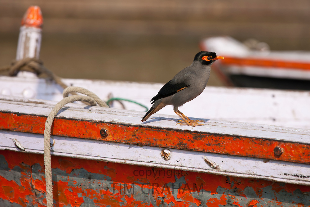 Indian Myna bird, Acridotheres tristis, perched on tourist boat in River Ganges by the Ghats in city of Varanasi, India