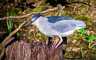 The black-crowned night heron (Nycticorax nycticorax), or black-capped night heron, commonly shortened to just night heron in Eurasia, is a medium-sized heronfound throughout a large part of the world, except in the coldest regions and Australasia