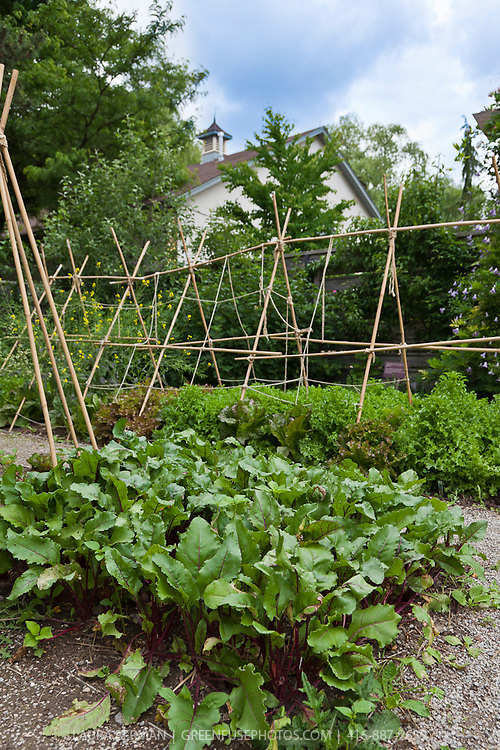 Vegetables growing in a kitchen garden.