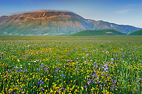 Wildflowers and Bellflowers (Campanula micrantha), Piano Grande/Sibillini National Park, Italy; WWoE Mission