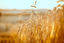 Datalhe dos grãos na lavoura de trigo. FOTO: Jefferson Bernardes / Agência Preview