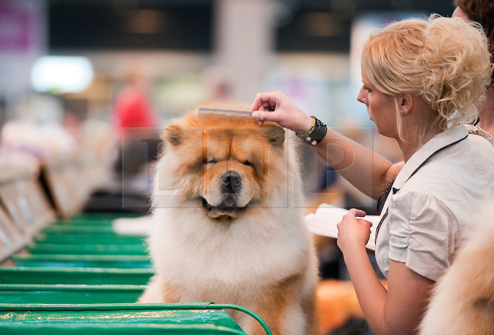 © London News Pictures. 08/03/2012.  A Chow Chow being prepared to go on show on Day one of Crufts at the Birmingham NEC Arena on March 8, 2012 in Birmingham.  Crufts, which is the largest annual dog show in the world, hosts over 20,000 dogs and owners who compete in a variety of categories. Photo credit : Ben Cawthra/LNP