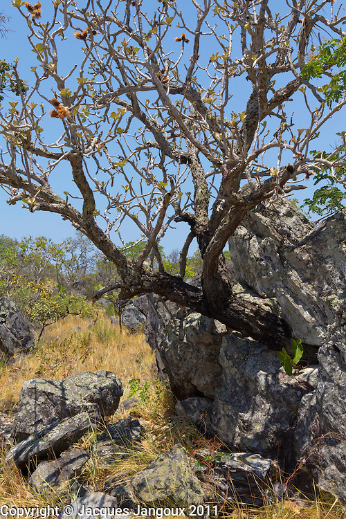 Savanna (called cerrado in Brazil) biome: saxicolous vegetation (campos rupestres): vegetation among rocks. Brazilian Highlands, Goias State, Brazil. Tree is Wunderlichia crulsiana (Compositae - Asteraceae)