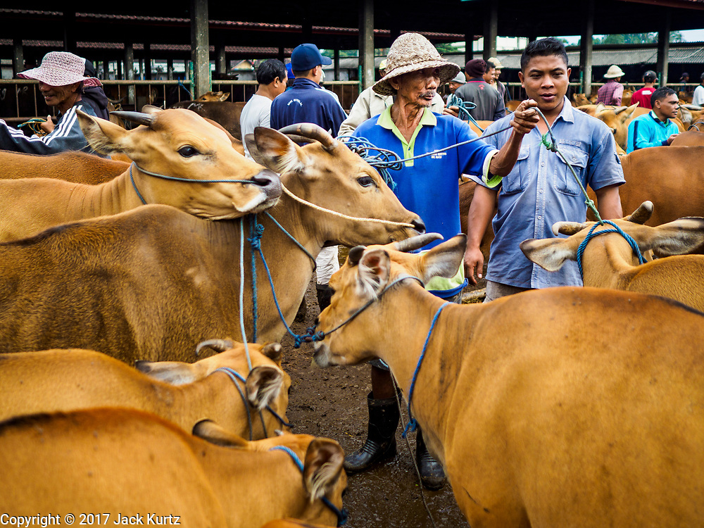 06 AUGUST 2017 - MENGWI, BALI, INDONESIA: A man with Balinese cows he hopes to sell in the Bringkit Market in Mengwi, about 30 minutes from Denpasar. Bringkit Market is famous on Bali for its Sunday livestock and poultry market. Hundreds of the small Bali cows are bought and sold there every week. Bali's local markets are open on an every three day rotating schedule because venders travel from town to town. Before modern refrigeration and convenience stores became common place on Bali, markets were thriving community gatherings. Fewer people shop at markets now as more and more consumers go to convenience stores and more families have refrigerators.     PHOTO BY JACK KURTZ
