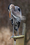 Great Blue Heron on nesting box