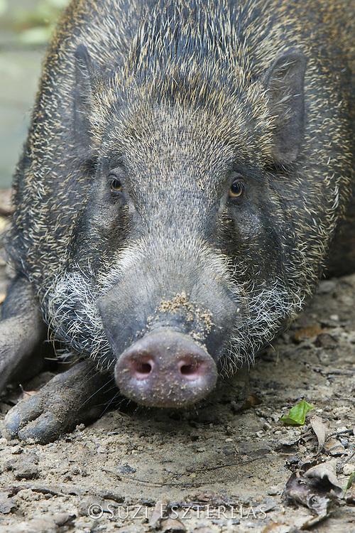 Wild boar<br /> Sus scrofa<br /> Way Kambas National Park, Sumatra, Indonesia
