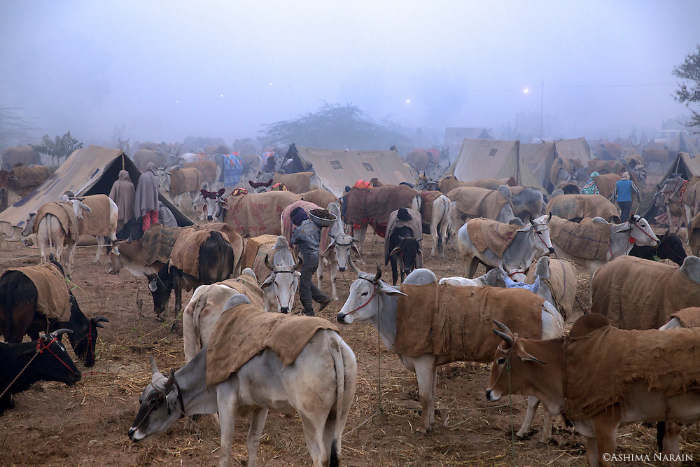 The Nagaur Cattle Fair In Rajasthan takes place annually in January. It only has male calves (bachra) and bulls (bel), no cows. There are, however, female horses and camels allowed. People come from all over North India to buy and sell cattle. Some people come to 'dance' their horses and camels.<br /> <br /> I met Mahendra Singh from Haridwar, Uttarakhand who took me around the fair and helped me by telling everyone I am Indian, so they would not hassle me. 09012837793 & 09058793325<br /> <br /> The organiser of the fair is Dr. G.L. Lunia - 09414664900 ddahnagaur@yahoo.co.in