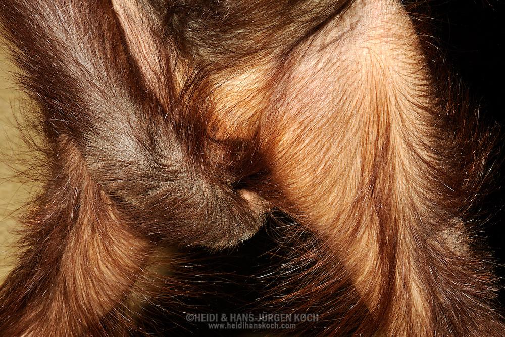Borneo Orang-utan (Pongo pygmaeus).Young male Orang-utan grabs his crotch...Borneo-Orang-Utan (Pongo pygmaeus).Junges Orang-Utan-Männchen greift sich in den Schritt.