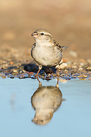 Female House Sparrow standing on the waters edge and reflected in the water, De Hoop Nature Reserve, Western Cape, South Africa