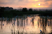 Feeding Egrets at sunrise in a managed depression .<br /> - Savannah National Wildlife Refuge.<br /> Hardeeville, SC U.S.A