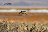 Meadowlark in flight at Freezeout Lake WMA near Fairfield, Montana, USA