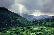 Tea plantation (camellia sinensis) near Ooty, Tamil Nadu, India.