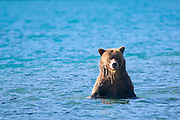 Grizzly in azure waters of Chilko Lake