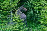 Moose (Alces alces) <br />Gros Morne National Park<br />Ontario<br />Canada