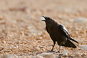 Brown-necked raven (Corvus ruficollis). Photographed in Israel in February