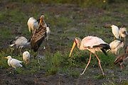 An adult Yellow-billed Stork walks onto the shore where a juvenile stork is preening. Cattle Egrets and Egyptain Geese roost in the area.