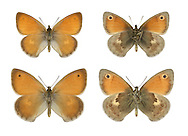 Small Heath - Coenonympha pamphilus - male (top row) - female (bottom row). Wingspan 30mm. A tiny grassland butterfly that invariably rests with its wings closed; upperwings are almost never revealed. Underside of forewing is orange with an eyespot; hindwing is marbled grey, brown and buff. Double-brooded: flies May–June and August–September. Larva feeds on grasses and is nocturnal. Widespread but locally common only in southern England; range has contracted because it is restricted to unimproved grassland and does not tolerate modern agricultural practices.