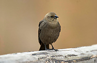 Female Brown-headed Cowbird (Molothrus ater) perched on a fence, Canmore, Alberta, Canada   Photo: Peter Llewellyn