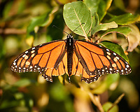 Monarch Butterfly. Image taken with a Nikon 1 V3 camera and 70-300 mm VR lens (ISO 400, 300 mm, f/5.6, 1/1000 sec)
