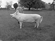 Pigs at the farmyard of the Sisters of Mercy Convent, Caryfort Avenue, Blackrock, Dublin..10.05.1962