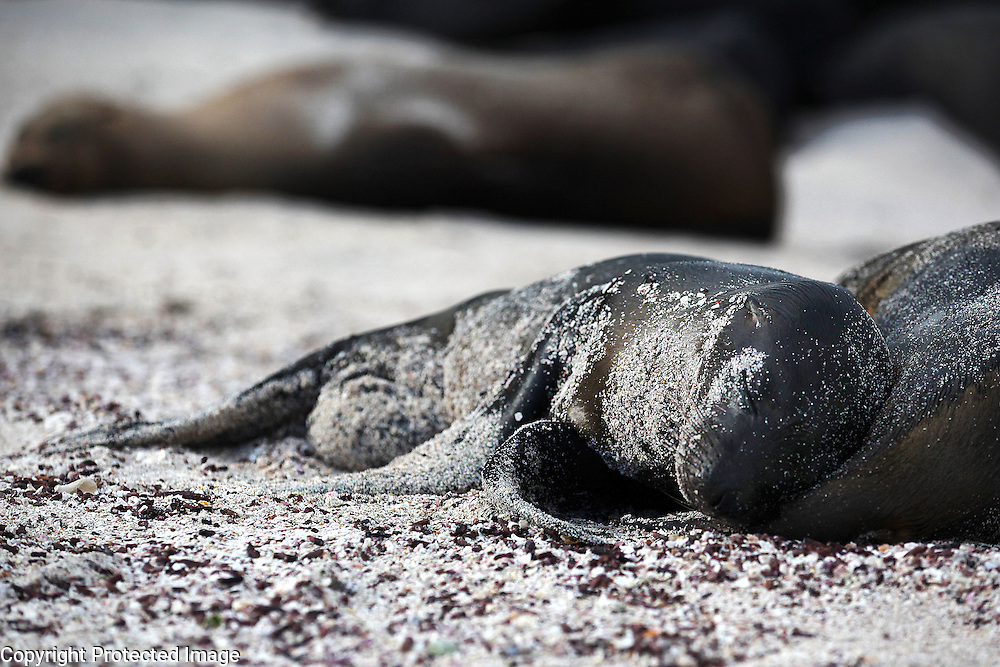 A baby sea lion snuggles up to its mother on Espanola Island in the Galapagos.