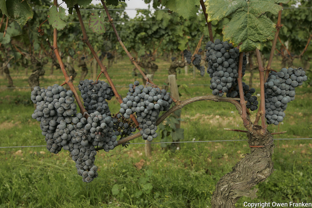 bunches of Pinot Noir grapes , the grapes of the Bordeaux red wines, in the vineyards of Chateau Petrus, one of the most exclusive wines in the world, at harvest time