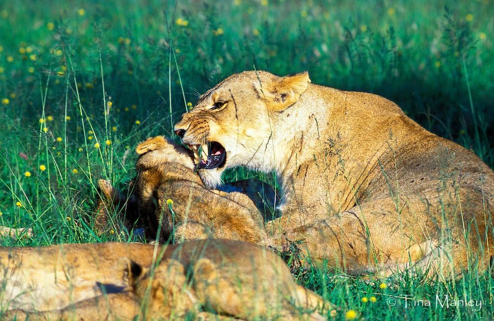 Female lion disciplining her cubs, Maasai Mara National Reserve, Kenya, Africa.