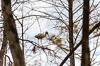 US, Florida, Everglades. Cypress swamp. American White Ibis.